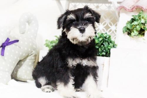 ミニチュアシュナウザーの子犬(ID:1255411669)の1枚目の写真/更新日:2017-07-11