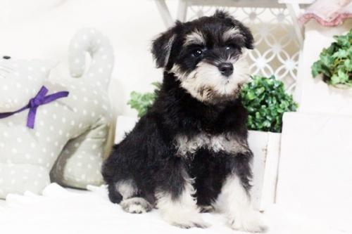 ミニチュアシュナウザーの子犬(ID:1255411669)の2枚目の写真/更新日:2017-07-11