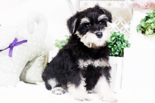 ミニチュアシュナウザーの子犬(ID:1255411669)の3枚目の写真/更新日:2017-07-11