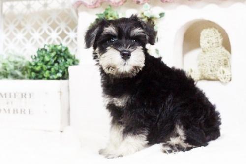ミニチュアシュナウザーの子犬(ID:1255411669)の4枚目の写真/更新日:2017-07-11