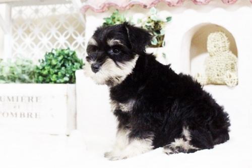 ミニチュアシュナウザーの子犬(ID:1255411669)の5枚目の写真/更新日:2017-07-11