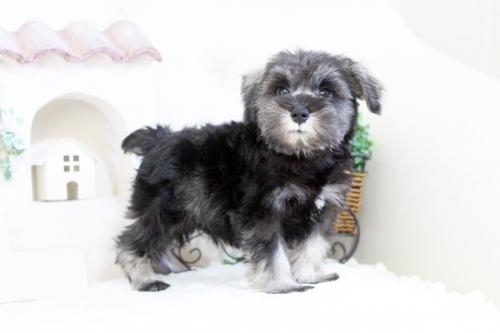 ミニチュアシュナウザーの子犬(ID:1255411670)の1枚目の写真/更新日:2017-06-08