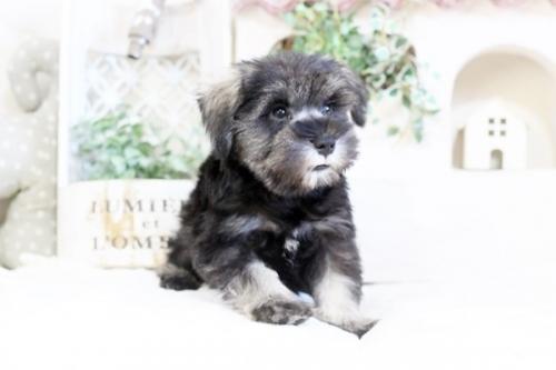 ミニチュアシュナウザーの子犬(ID:1255411670)の3枚目の写真/更新日:2017-06-08
