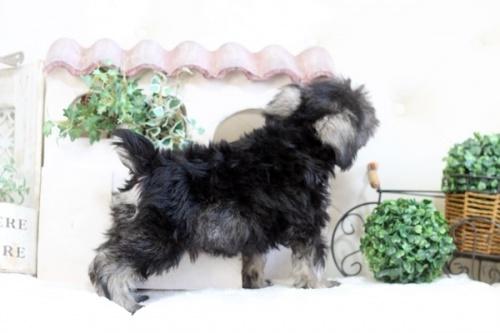 ミニチュアシュナウザーの子犬(ID:1255411670)の4枚目の写真/更新日:2017-06-08
