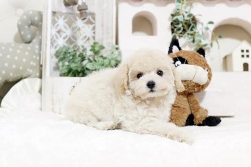 トイプードルの子犬(ID:1255411671)の1枚目の写真/更新日:2017-06-19