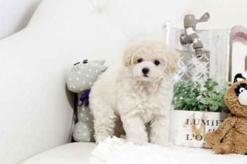 トイプードルの子犬(ID:1255411671)の2枚目の写真/更新日:2017-06-19