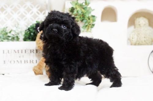 トイプードルの子犬(ID:1255411672)の2枚目の写真/更新日:2017-06-19