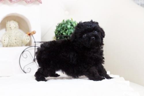 トイプードルの子犬(ID:1255411672)の3枚目の写真/更新日:2017-06-19