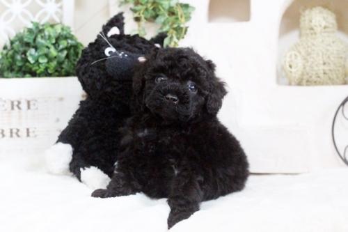 トイプードルの子犬(ID:1255411673)の1枚目の写真/更新日:2017-06-19
