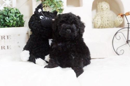 トイプードルの子犬(ID:1255411673)の2枚目の写真/更新日:2017-06-19