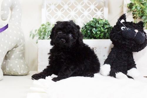 トイプードルの子犬(ID:1255411673)の4枚目の写真/更新日:2017-06-19