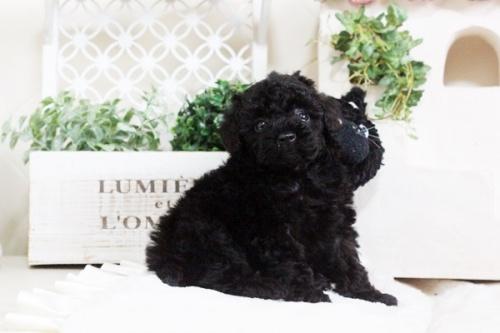 トイプードルの子犬(ID:1255411673)の5枚目の写真/更新日:2017-06-19