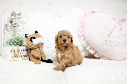 トイプードルの子犬(ID:1255411674)の2枚目の写真/更新日:2017-07-11