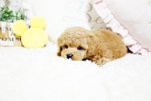 トイプードルの子犬(ID:1255411675)の4枚目の写真/更新日:2017-07-11