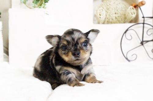 チワワ(ロング)の子犬(ID:1255411678)の1枚目の写真/更新日:2017-06-19