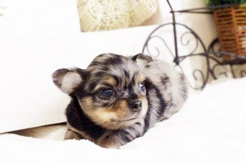 チワワ(ロング)の子犬(ID:1255411678)の3枚目の写真/更新日:2017-06-19