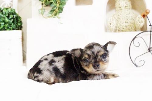 チワワ(ロング)の子犬(ID:1255411678)の5枚目の写真/更新日:2017-06-19