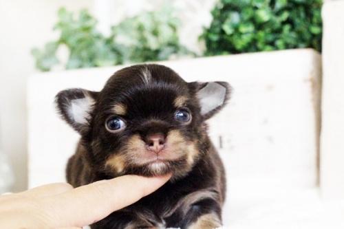 チワワ(ロング)の子犬(ID:1255411679)の1枚目の写真/更新日:2017-06-19