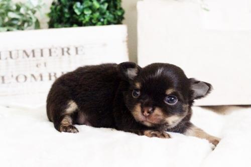 チワワ(ロング)の子犬(ID:1255411679)の2枚目の写真/更新日:2017-06-19