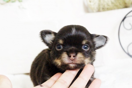 チワワ(ロング)の子犬(ID:1255411679)の3枚目の写真/更新日:2017-06-19