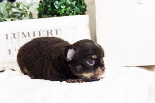 チワワ(ロング)の子犬(ID:1255411679)の4枚目の写真/更新日:2017-06-19