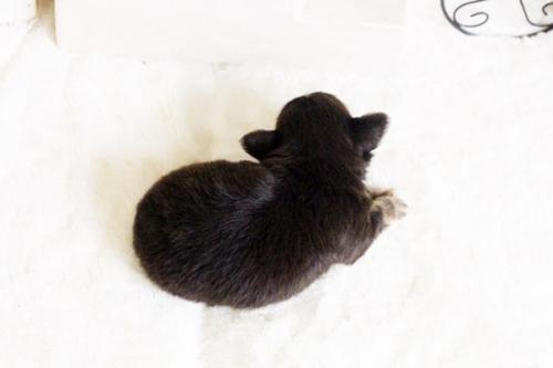 チワワ(ロング)の子犬(ID:1255411679)の5枚目の写真/更新日:2017-06-19