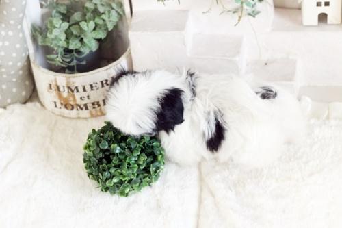ミックスの子犬(ID:1255411682)の2枚目の写真/更新日:2017-06-26