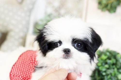 ミックスの子犬(ID:1255411682)の3枚目の写真/更新日:2017-06-26