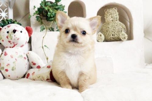 チワワ(ロング)の子犬(ID:1255411684)の1枚目の写真/更新日:2017-07-04