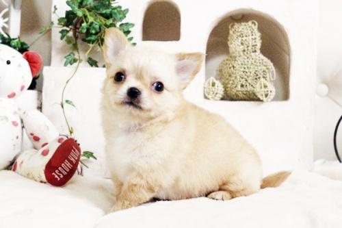 チワワ(ロング)の子犬(ID:1255411684)の2枚目の写真/更新日:2017-07-04