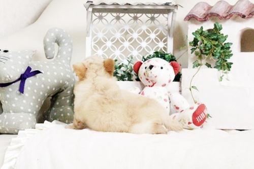 チワワ(ロング)の子犬(ID:1255411684)の3枚目の写真/更新日:2017-07-04