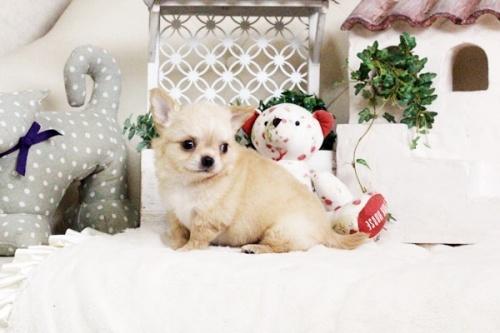 チワワ(ロング)の子犬(ID:1255411684)の4枚目の写真/更新日:2017-07-04