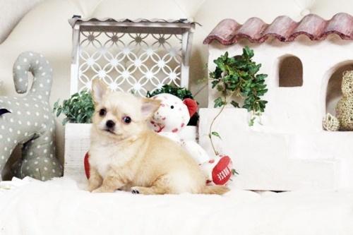 チワワ(ロング)の子犬(ID:1255411684)の5枚目の写真/更新日:2017-07-04