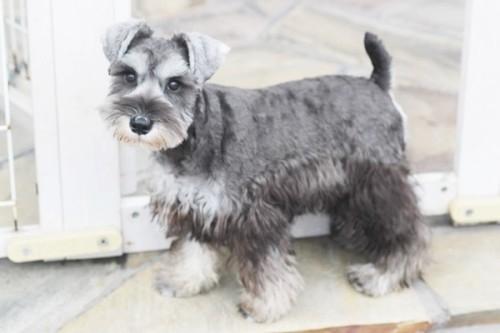 ミニチュアシュナウザーの子犬(ID:1255411685)の1枚目の写真/更新日:2017-07-04
