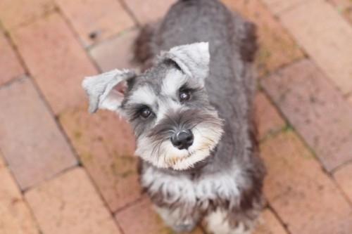 ミニチュアシュナウザーの子犬(ID:1255411685)の2枚目の写真/更新日:2017-07-04