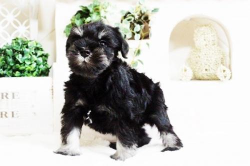 ミニチュアシュナウザーの子犬(ID:1255411686)の1枚目の写真/更新日:2017-07-04