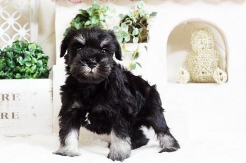 ミニチュアシュナウザーの子犬(ID:1255411686)の2枚目の写真/更新日:2017-07-04