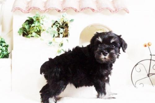 ミニチュアシュナウザーの子犬(ID:1255411686)の3枚目の写真/更新日:2017-07-04