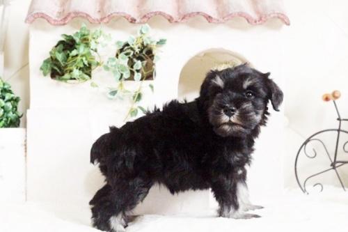 ミニチュアシュナウザーの子犬(ID:1255411686)の4枚目の写真/更新日:2017-07-04