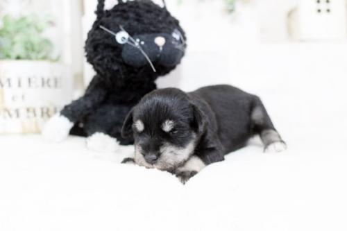 ミニチュアシュナウザーの子犬(ID:1255411687)の2枚目の写真/更新日:2017-07-04