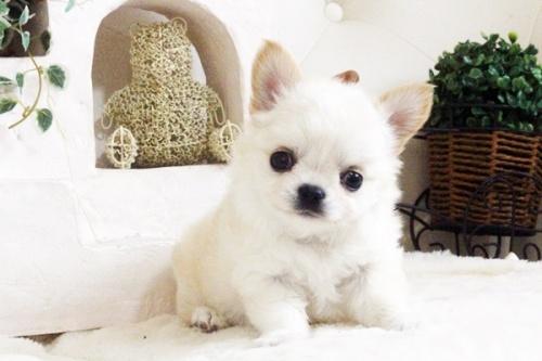 チワワ(ロング)の子犬(ID:1255411688)の1枚目の写真/更新日:2017-07-04