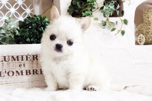 チワワ(ロング)の子犬(ID:1255411688)の2枚目の写真/更新日:2017-07-04