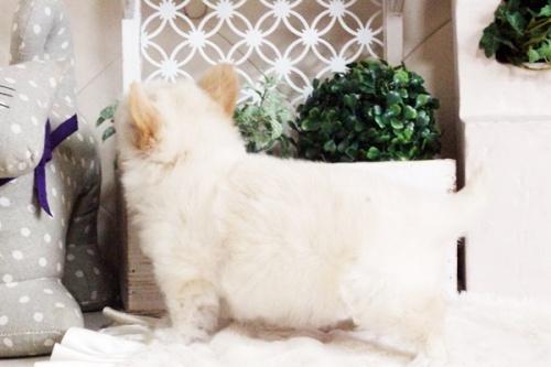 チワワ(ロング)の子犬(ID:1255411688)の3枚目の写真/更新日:2017-07-04
