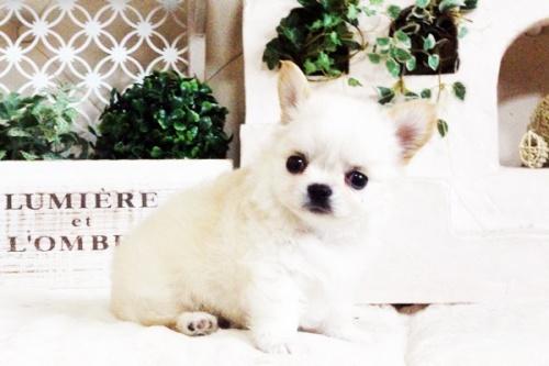 チワワ(ロング)の子犬(ID:1255411688)の4枚目の写真/更新日:2017-07-04