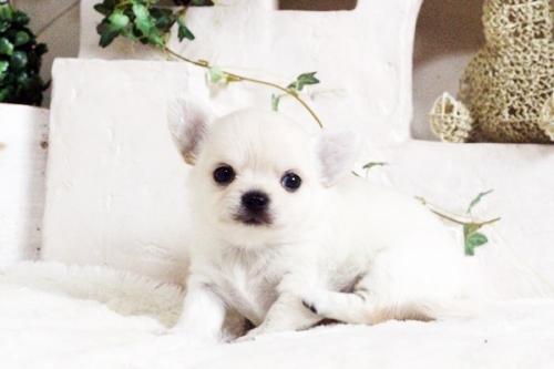 チワワ(ロング)の子犬(ID:1255411689)の1枚目の写真/更新日:2017-07-04