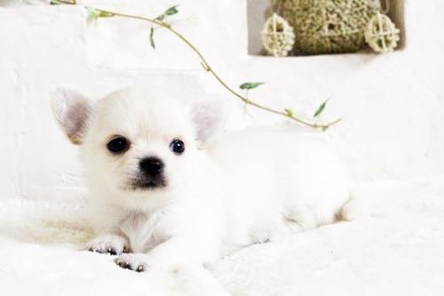 チワワ(ロング)の子犬(ID:1255411689)の2枚目の写真/更新日:2017-07-04