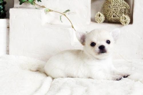 チワワ(ロング)の子犬(ID:1255411689)の3枚目の写真/更新日:2017-07-04