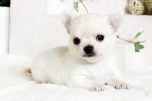 チワワ(ロング)の子犬(ID:1255411689)の4枚目の写真/更新日:2017-07-04