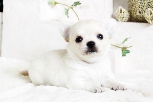 チワワ(ロング)の子犬(ID:1255411689)の5枚目の写真/更新日:2017-07-04