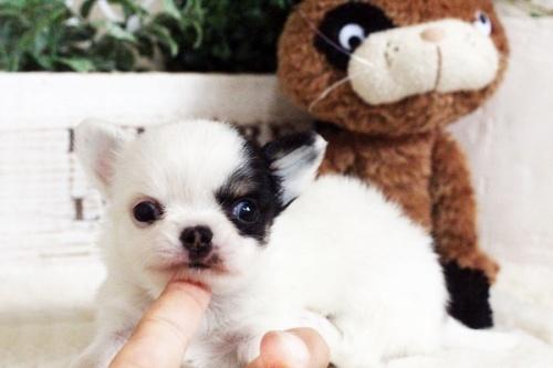 チワワ(ロング)の子犬(ID:1255411690)の1枚目の写真/更新日:2017-07-04